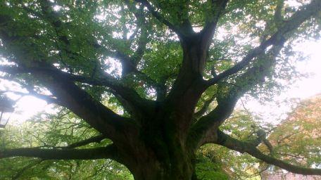 dornum-lindenbaum