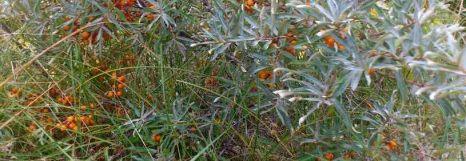 sanddorn-busch-streifen