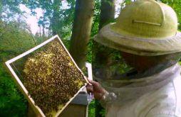 Imker mit Bienen im Rahmen