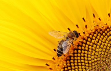 Sonnenblume_pixabay