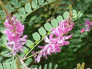 Tropische Indigopflanze