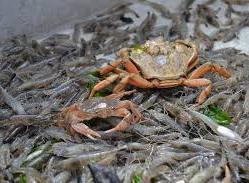 Krabben auf Garnelen.