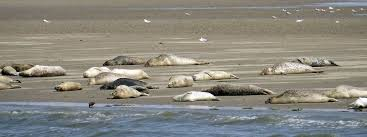 Seehunde Sandbank