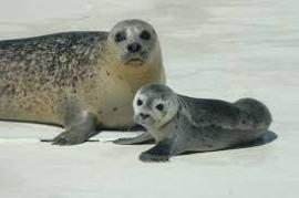 Seehundmutter mit Heuler
